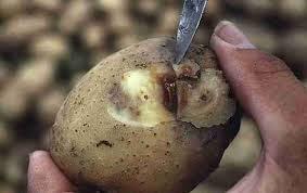 پوسیدگی-سیب-زمینی